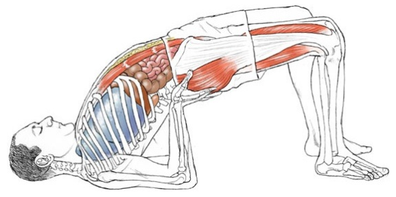 Yoga Anatomie Zeichnung